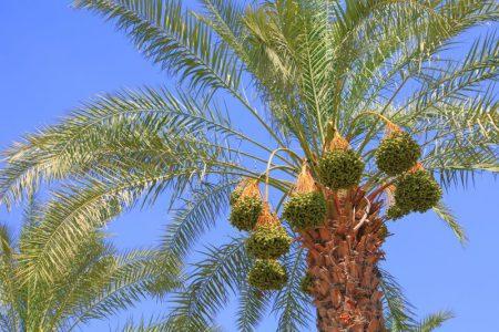 עץ דקל